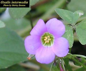 Oxalis intermedia