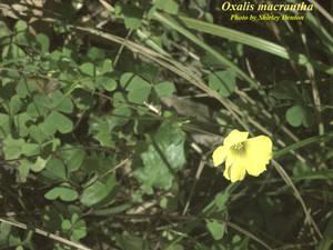Oxalis macrantha
