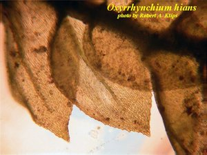 Oxyrrhynchium hians