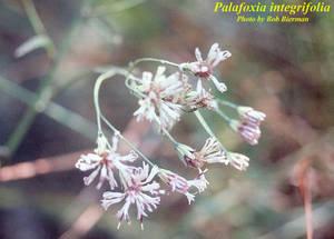 Palafoxia integrifolia