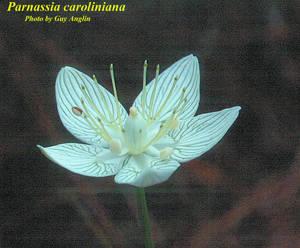 Parnassia caroliniana