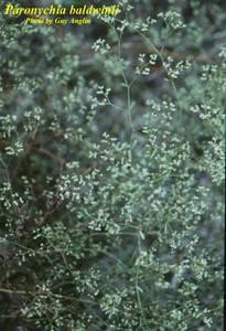 Paronychia baldwinii