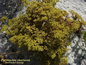 Paronychia chartacea