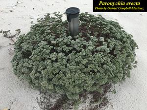 Paronychia erecta
