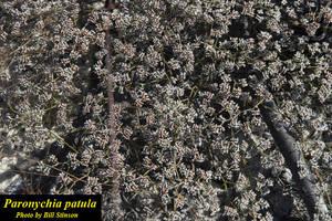 Paronychia patula