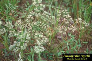 Paronychia rugelii