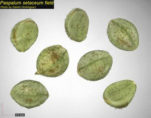 Paspalum setaceum
