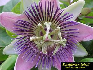 Passiflora x belotii