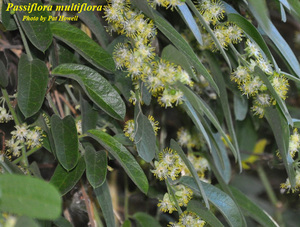 Passiflora multiflora