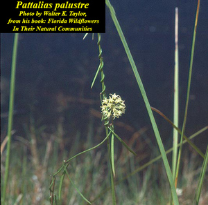 Pattalias palustre