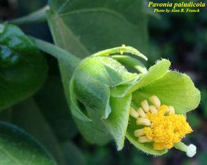 Pavonia paludicola