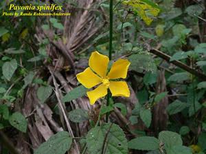 Pavonia spinifex