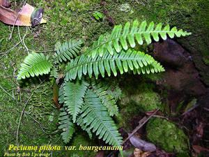 Pecluma ptilota var. bourgeauana