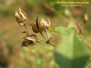 Pediomelum canescens
