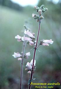 Penstemon australis