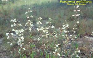 Penstemon multiflorus