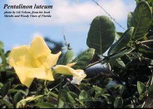 Pentalinon luteum