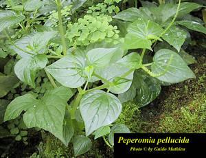 Peperomia pellucida