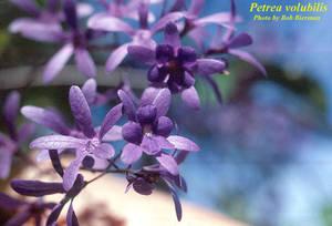 Petrea volubilis