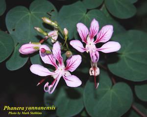 Phanera yunnanensis