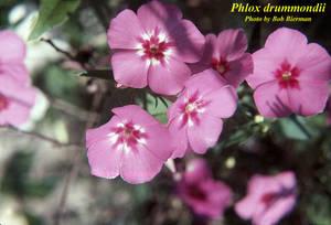 Phlox drummondii