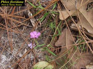 Phlox floridana