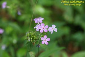 Phlox glaberrima