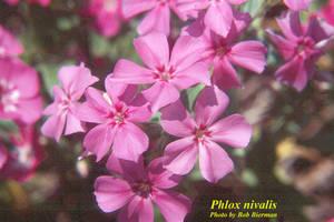Phlox nivalis