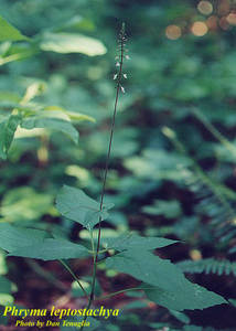 Phryma leptostachya