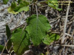 Physalis arenicola