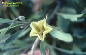 Physalis walteri