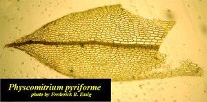 Physcomitrium pyriforme