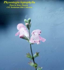 Physostegia leptophylla