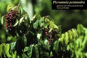 Picramnia pentandra