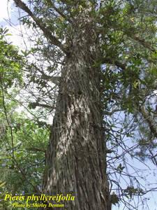 Pieris phyllyreifolia
