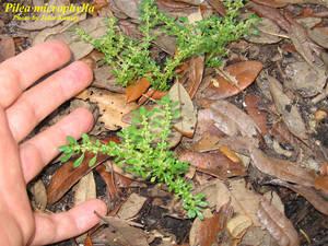 Pilea microphylla