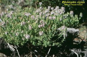 Piloblephis rigida