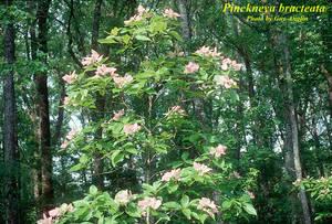 Pinckneya bracteata