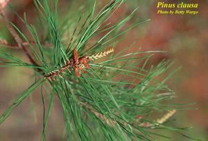 Pinus clausa