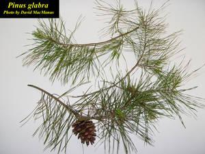 Pinus glabra