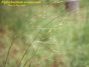 Piptochaetium avenaceum