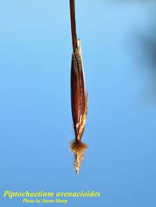 Piptochaetium avenacioides