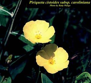 Piriqueta cistoides subsp. caroliniana