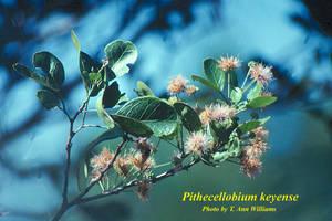 Pithecellobium keyense
