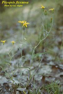 Pityopsis flexuosa