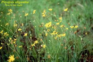 Pityopsis oligantha