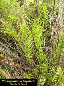 Pityrogramma trifoliata