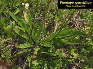 Plantago sparsiflora