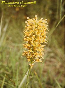 Platanthera chapmanii