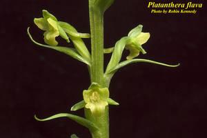Platanthera flava